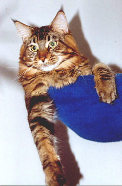 Maine Coon - CH. wildwillows Sisco two stars