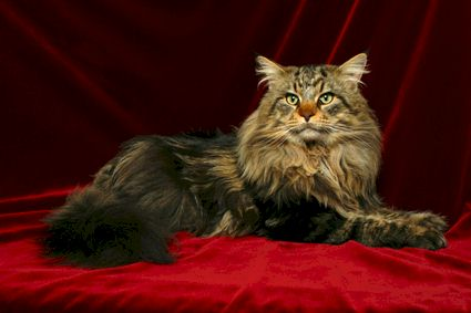 Maine Coon - CH. melicoon Stardust