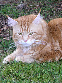 Maine Coon - american beauty's Mephisto