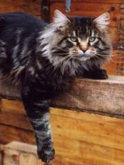 Maine Coon - CH. claddacoons Rafferty