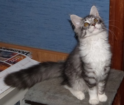 Maine Coon - toon y coon Hollywood