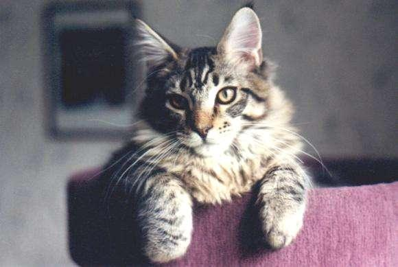 Maine Coon - CH. Killjoy of kennebec river