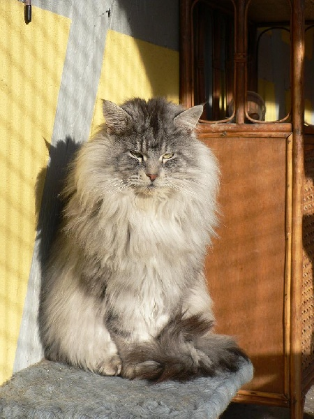 Maine Coon - willowplace Forrest
