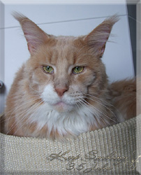 Maine Coon - justcoons Keep smiling