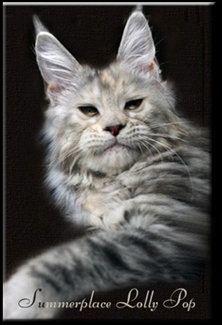 Maine Coon - CH. summerplace Lolly pop