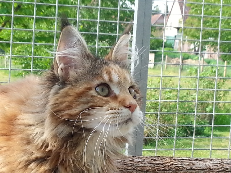 Maine Coon - cool motion's Fruit kiss