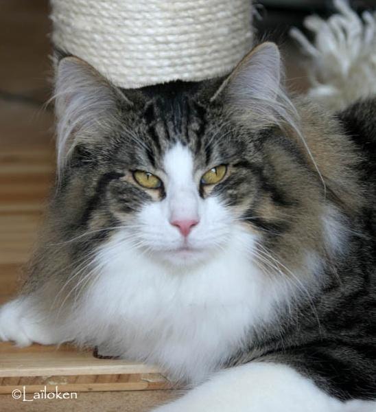 Norvégien - Forest Cat Farrell, JW GIC