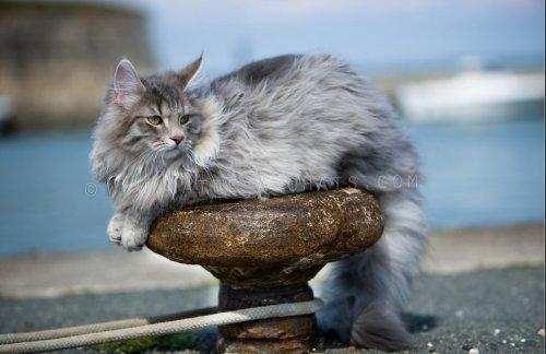 Norvégien - Everest de la natte a chats