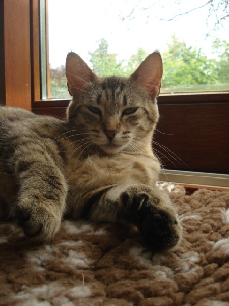 Pixie-Bob poil court et poil long - ansonroad Chillie peppa