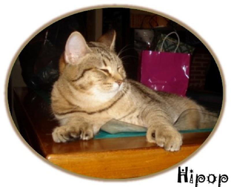 Pixie-Bob poil court et poil long - Hipop De Chantemerle