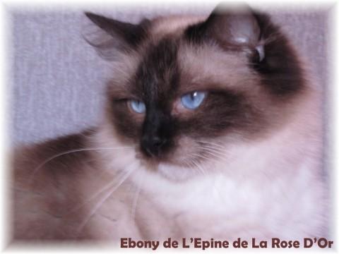 Ragdoll - Ebony de  l'epine de la rose d'or