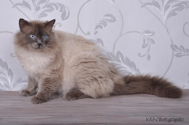 Ragdoll - Eliot des cat's a malice