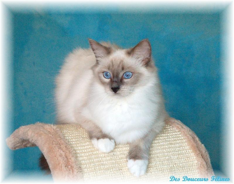 Ragdoll - Sacha's Cats French riviera