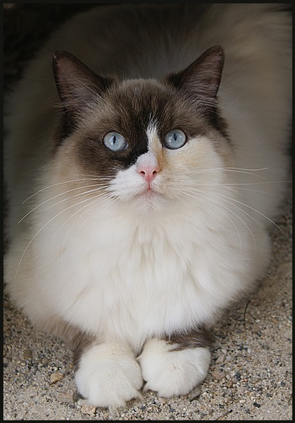 Ragdoll - Gia-nours the eyes of hope