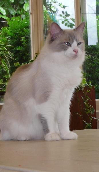 Ragdoll - Fidis-star des douceurs Felines