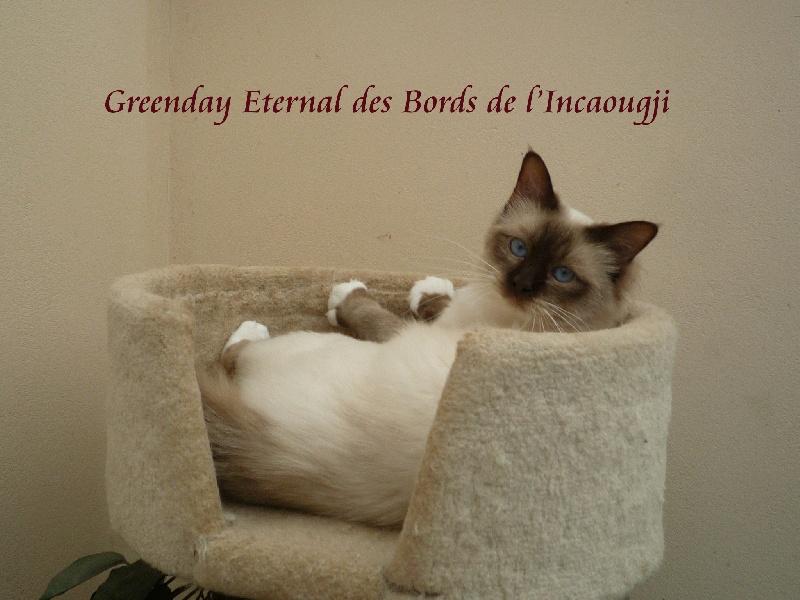 Sacré de Birmanie - CH. Greenday eternal Des Bords de l'Incaougji
