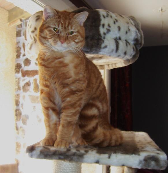 Scottish Fold - Happy le chat l'ange