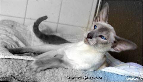 Siamois - Samsara Galacticka