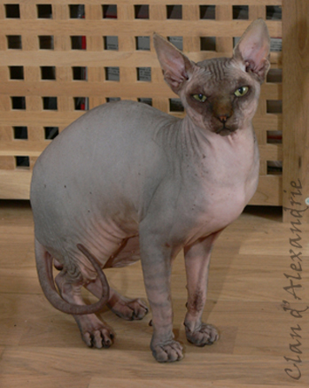 Sphynx - les felines de chanel Esteban