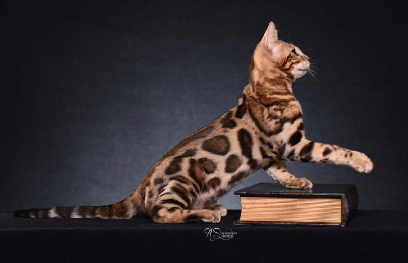 Bengal - Coldplay bengalleopard