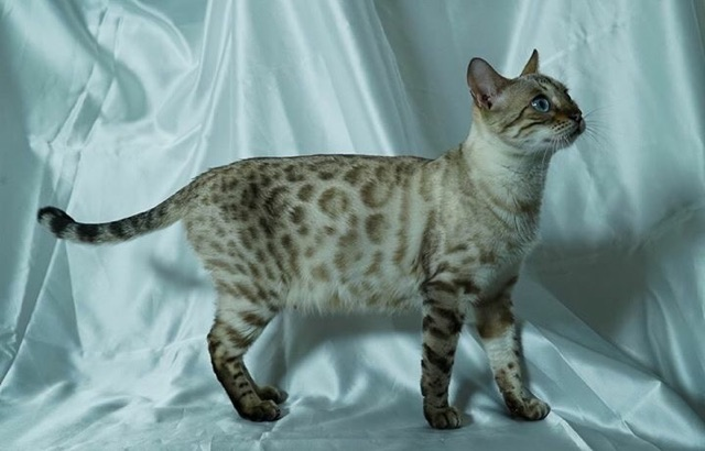 Bengal - secret Mona Lisa