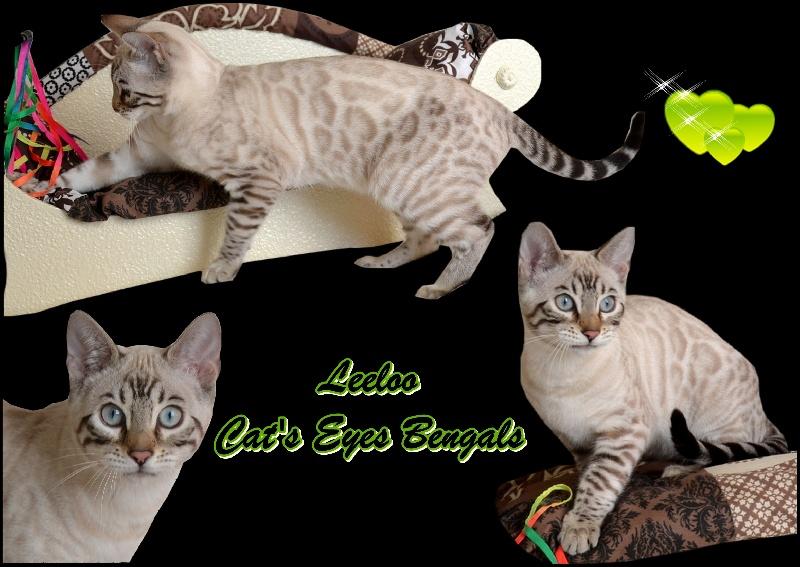 Bengal - Leeloo cat's eyes bengals