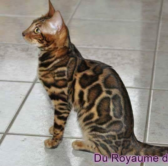 Elevage des vents du sud eleveur de chats bengal - Chat du bengal gratuit ...
