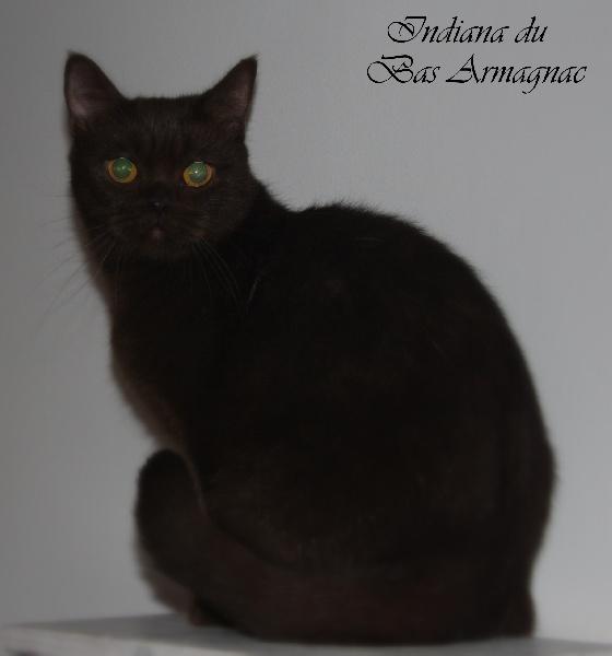 British Shorthair et Longhair - Indiana du bas armagnac