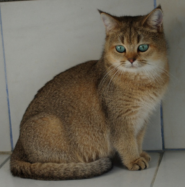 British Shorthair et Longhair - Yucca yoanna gatto de rey