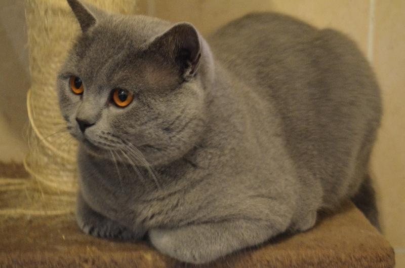 British Shorthair et Longhair - CH. Harybo du paradina's cat