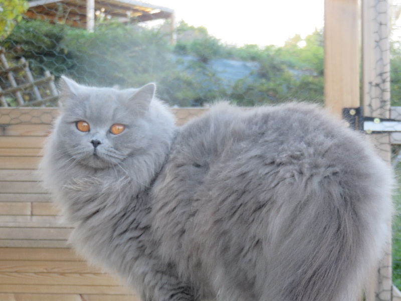 British Shorthair et Longhair - CH. Lévanah joy alex moor