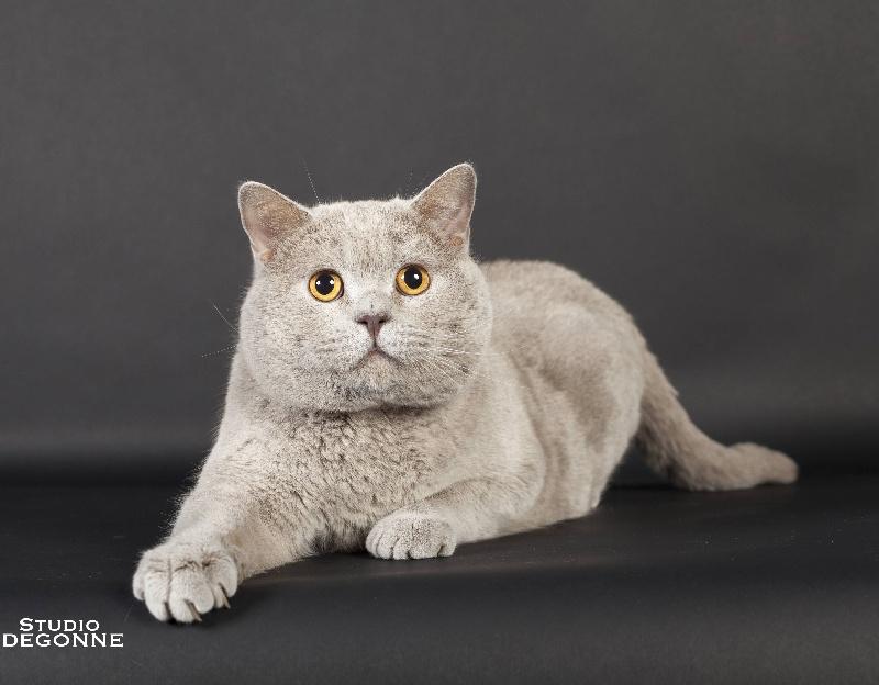 British Shorthair et Longhair - CH. Hubble Du Paradina's Cats