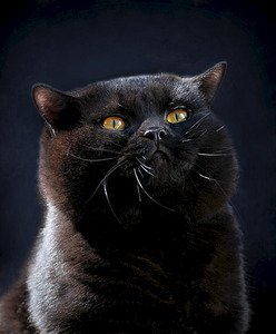 British Shorthair et Longhair - gem sweet Norrington