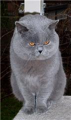 British Shorthair et Longhair - Casper van goele geenen
