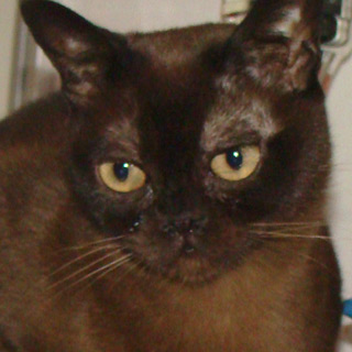 Burmese Americain - Jade The Cats Love