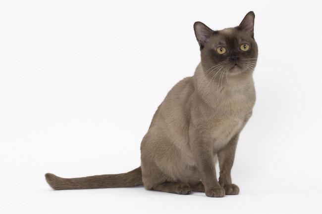 Burmese Americain - Josette The Cats Love