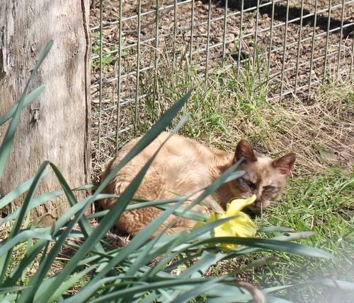 Les Burmese anglais (Burmilla...) de l'affixe cat'y mini jungle's