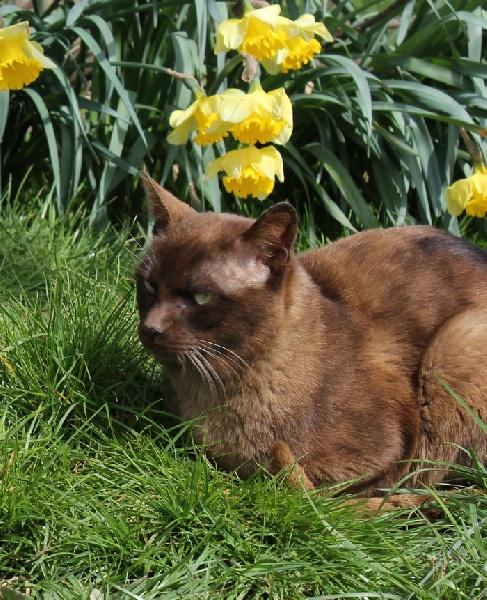 Burmese anglais (Burmilla...) - cat'y mini jungle's Déli de fuite