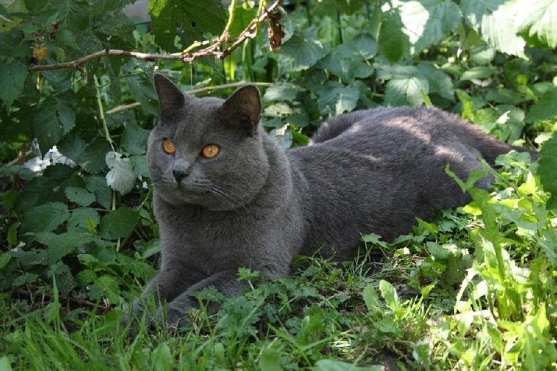 Chartreux - Mao du chat l heureux