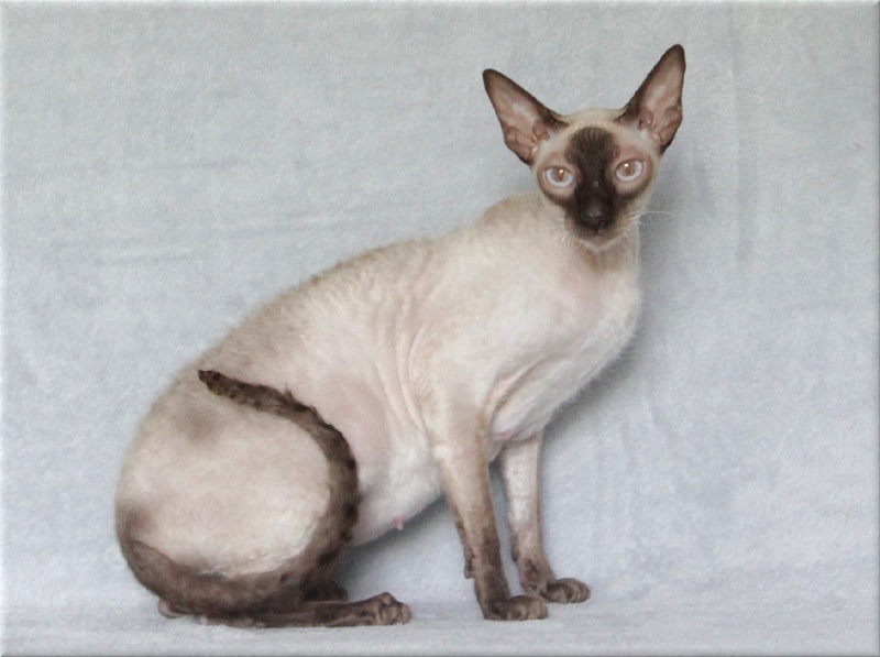 Cornish Rex - Rex Time Jasmine