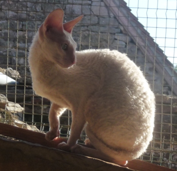 Les Cornish Rex de l'affixe ideal dream
