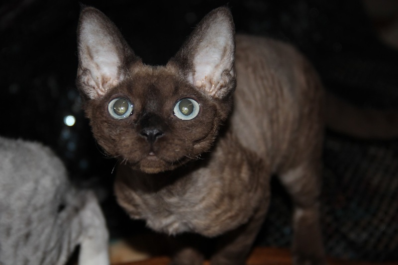 Devon Rex - Jamina of my dream's cats