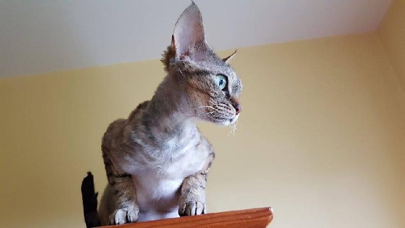 Les Devon Rex de l'affixe Des Lollicat's
