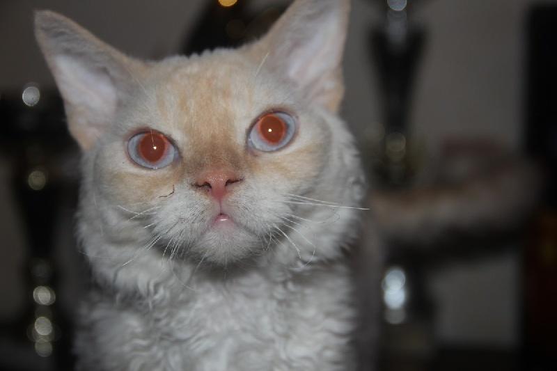 Devon Rex - Joy of my dream's cats
