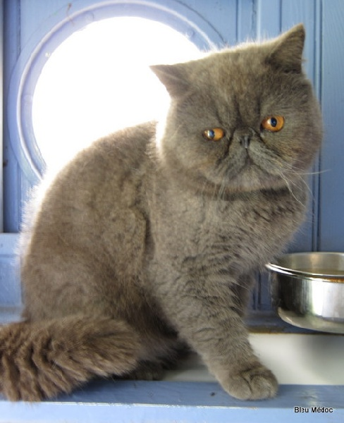 Exotic Shorthair - Larry exothelli
