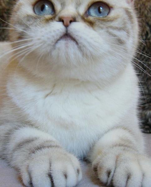 Exotic Shorthair - Millie Des Douceurs De Perse