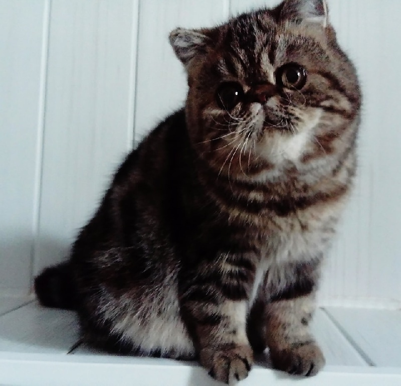Les Exotic Shorthair de l'affixe Mad Love's