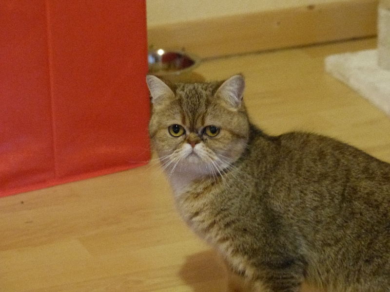 Exotic Shorthair - Isla d'or du cedre enchante