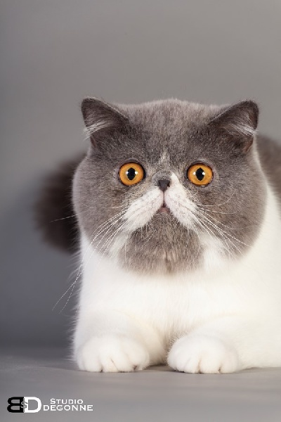 Exotic Shorthair - CH. lyukorn Galveston