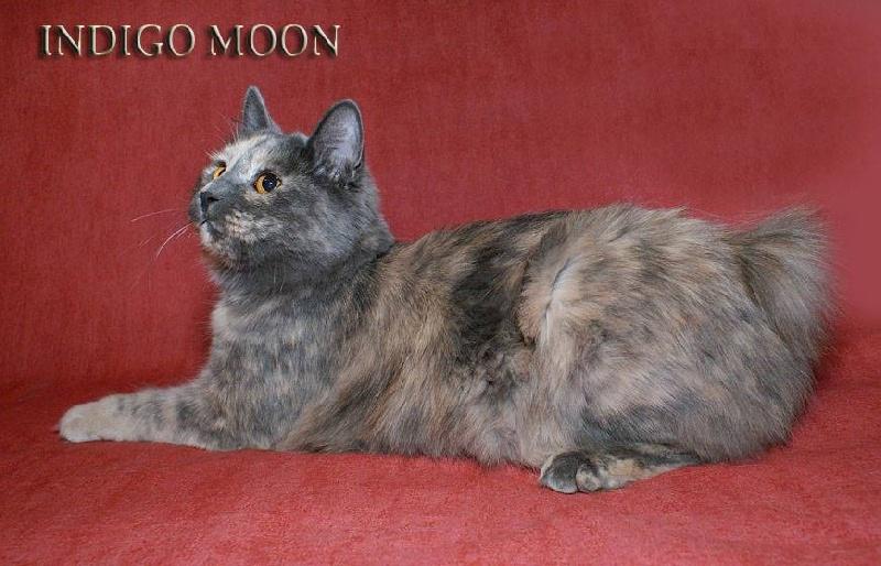 Kurilian Bobtail poil court et poil long - Indigo moon Sans Affixe